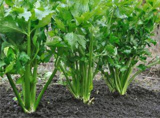 sedano piante
