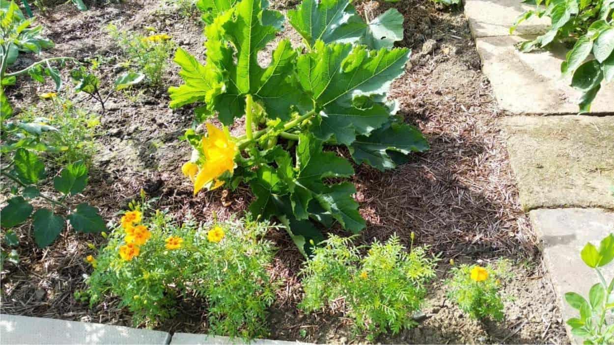 fiori di tagete e zucchine