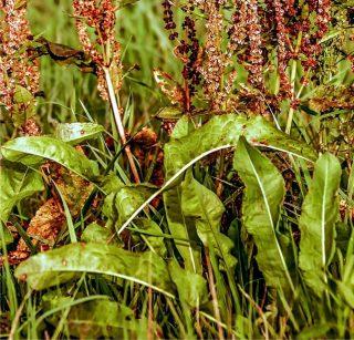 acetosa pianta selvatica