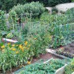 L'orto inglese a luglio: raccolti, premi e buchi neri