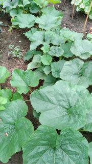 pianta di zucca gigante