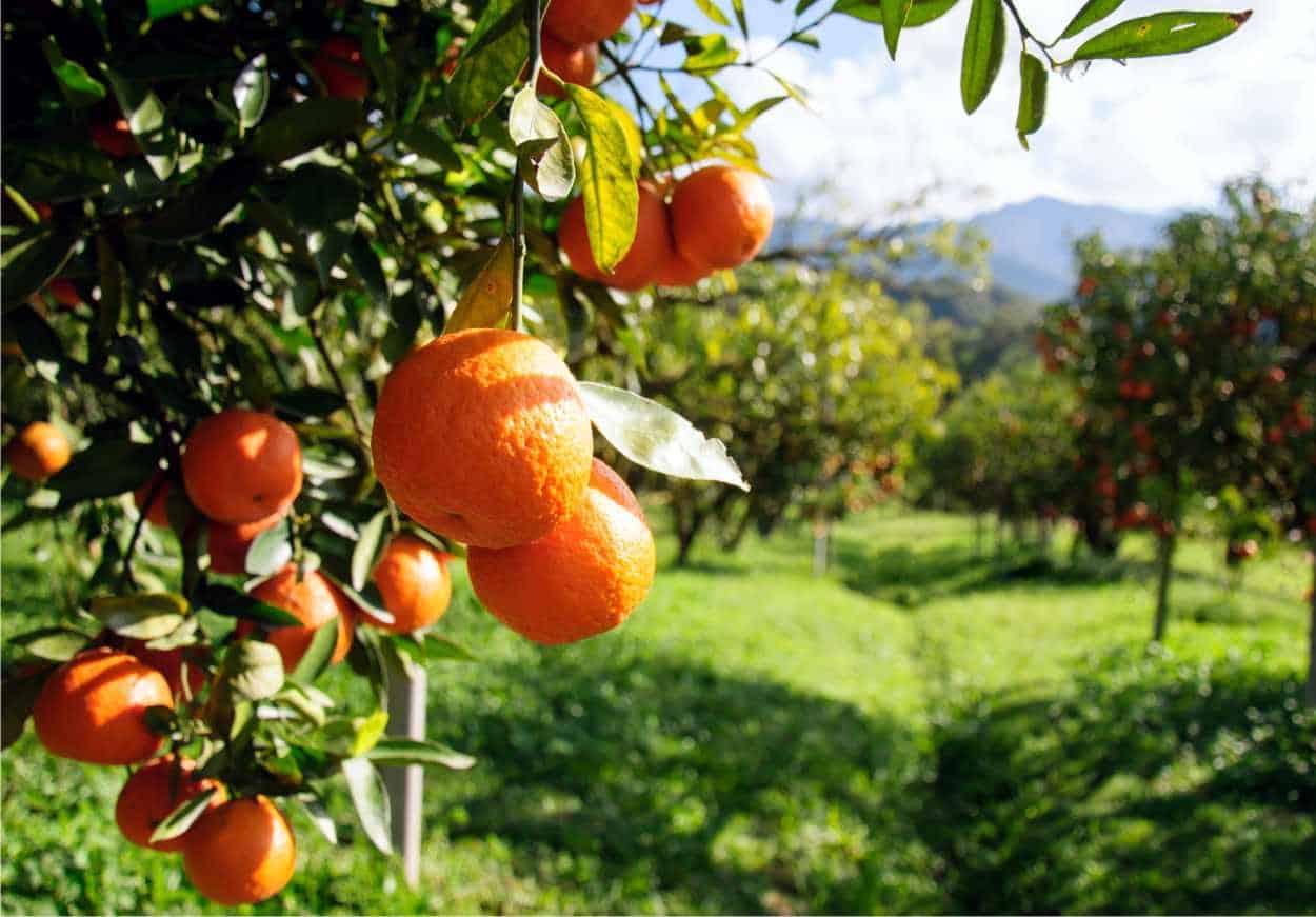 il frutto di un aranceto ben potato