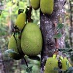 Il jackfruit o giaco: enorme frutto esotico