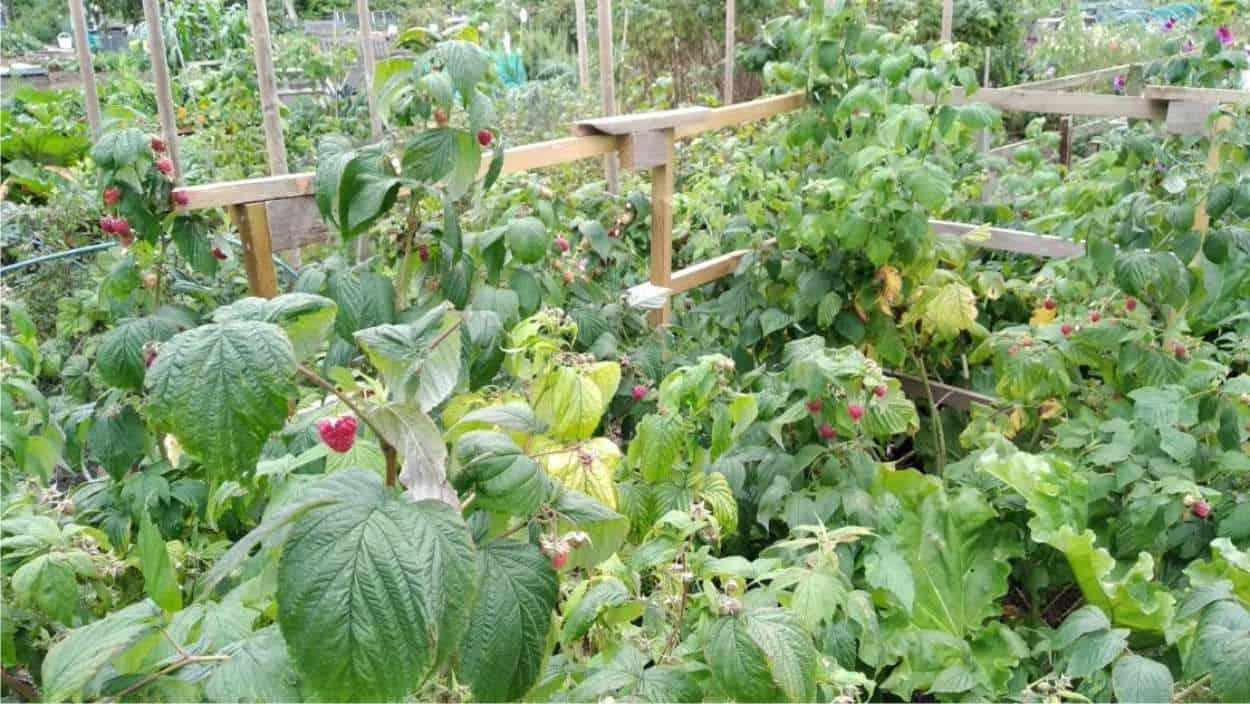 coltivazione di lamponi