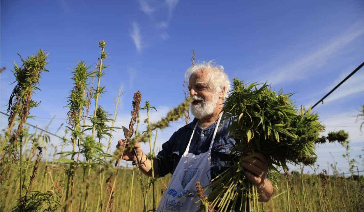 raccolta di fiori di cannabis light
