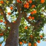Come e quando potare l'arancio
