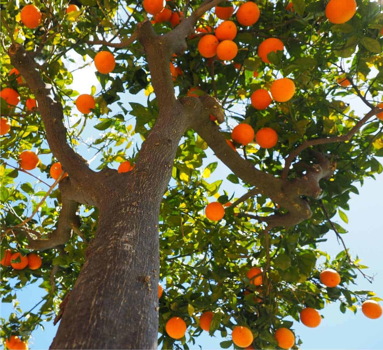 rami dell'arancio