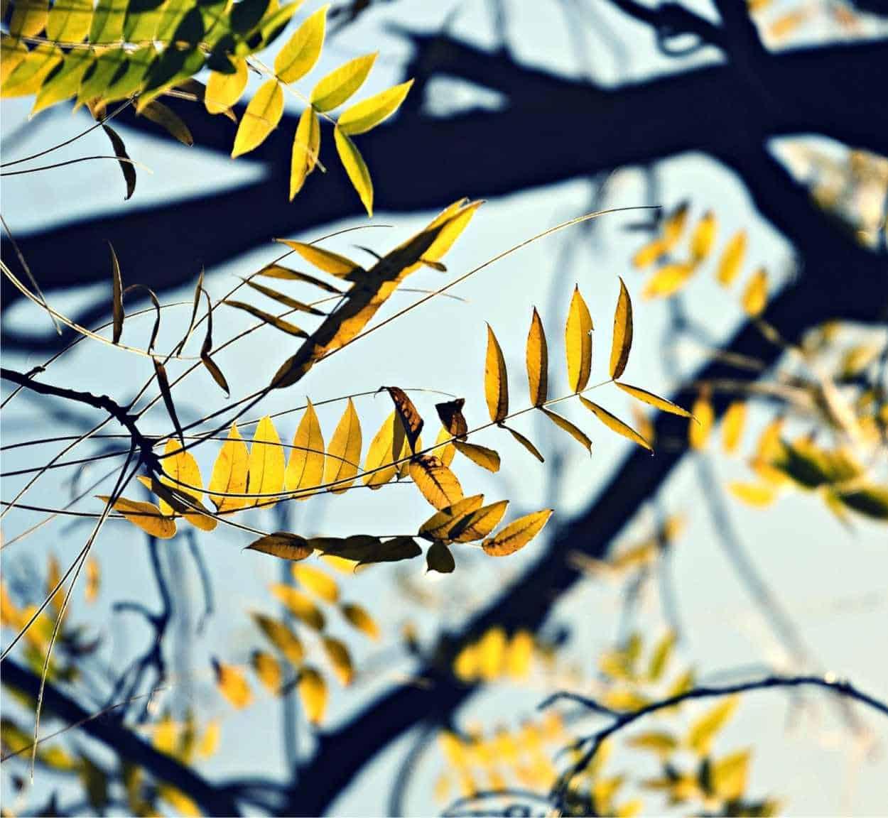 Patologie dell'albero di noce