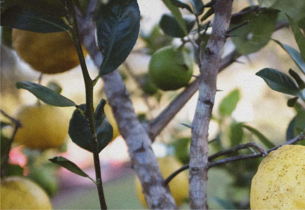 chioma di limone con potatura effettuata