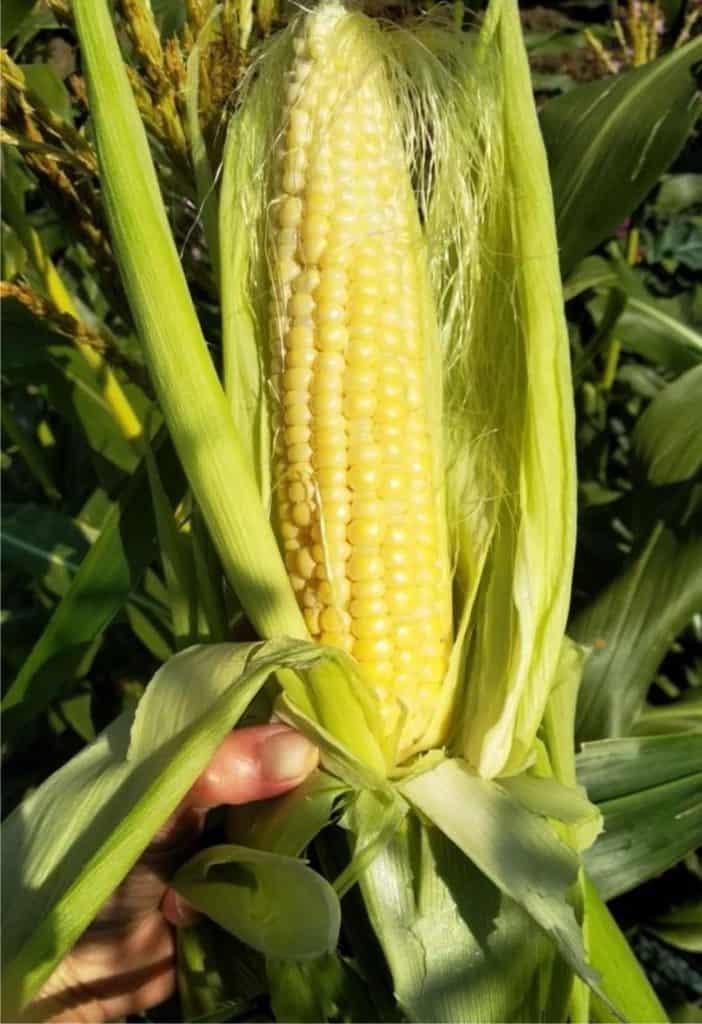 una bella pannocchia di mais