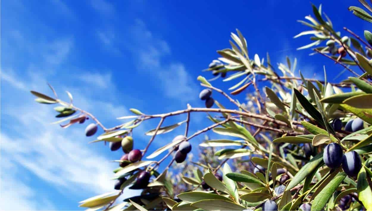 rami di olivo