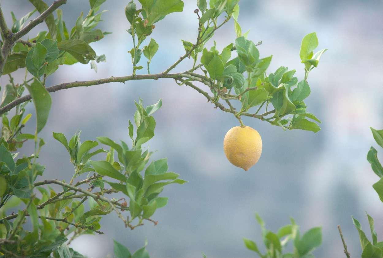 Piante Da Frutto Sempreverdi potare il limone: come e quando effettuare la potatura