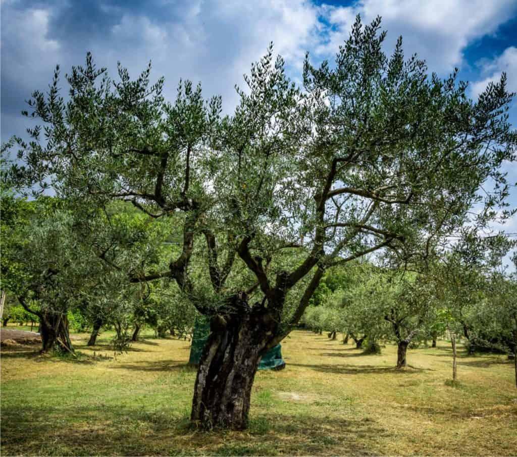 Potatura olivo: come e quando potare - Come fare l'orto ...