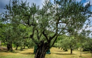 olivo potato a vaso