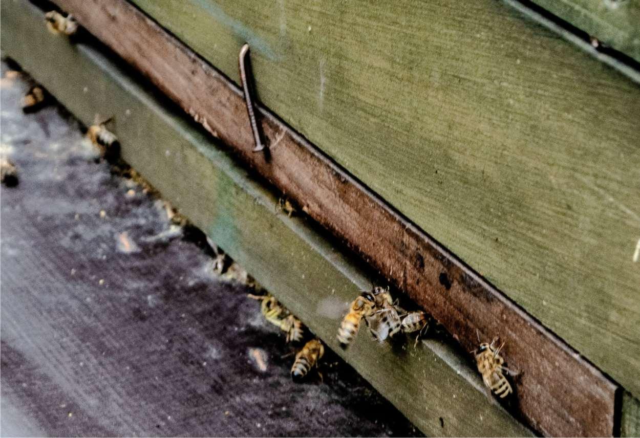api che fanno propoli