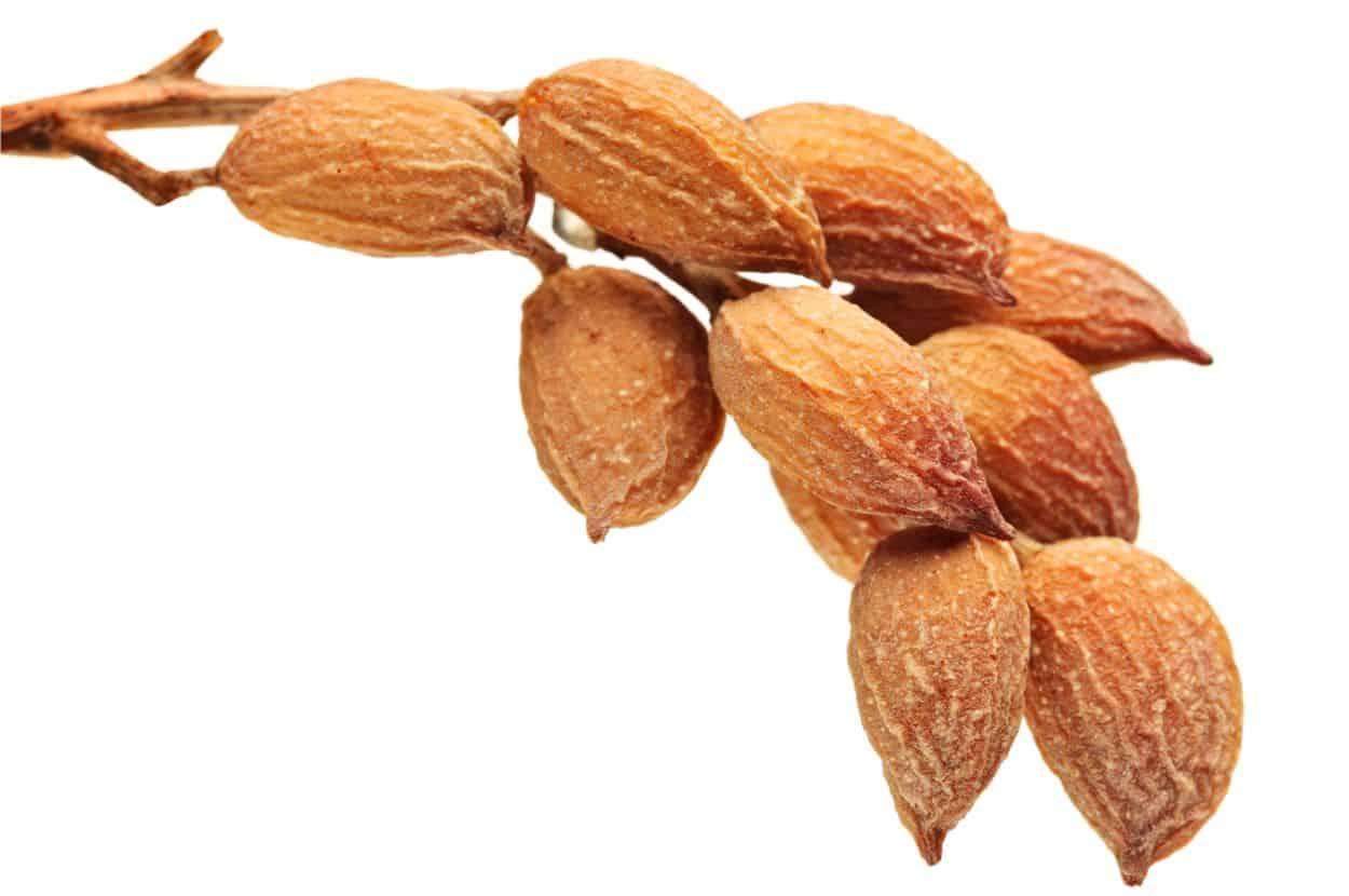 frutti del pistacchio da raccogliere