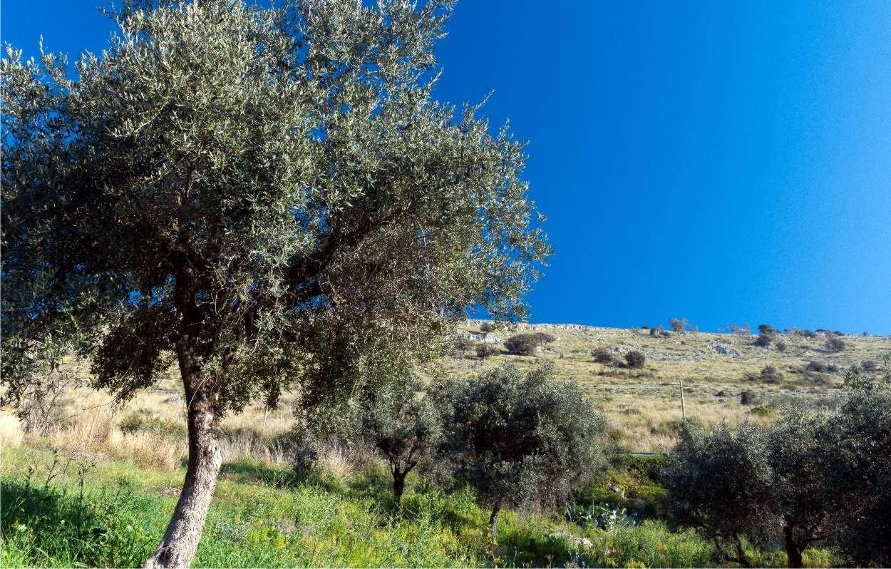 Concimazione dell'olivo