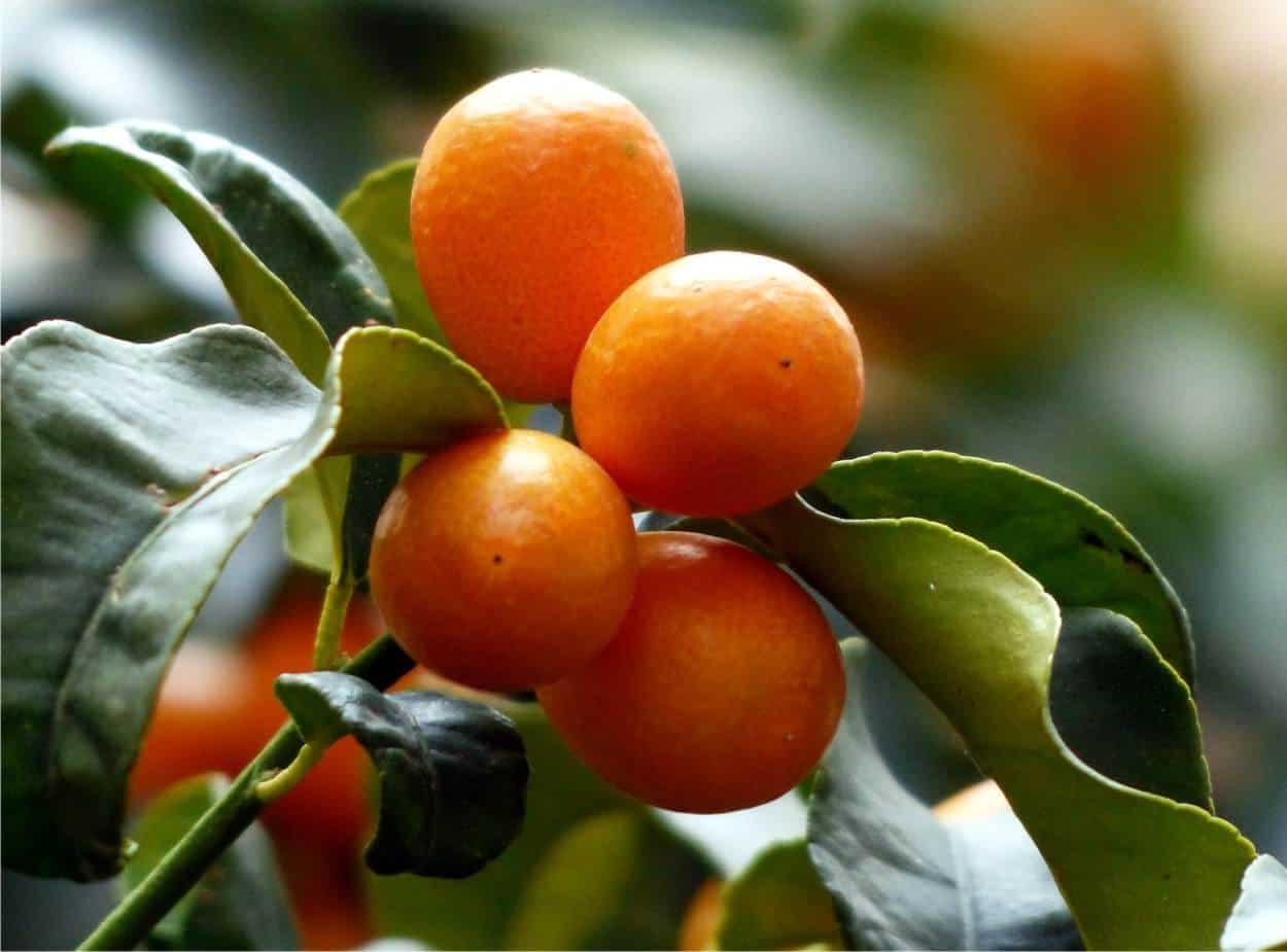 Kumquat: coltivare il mandarino cinese