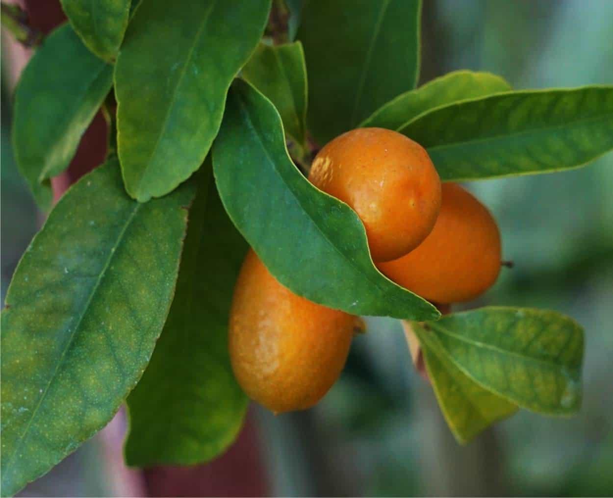 mandarini cinesi sulla pianta