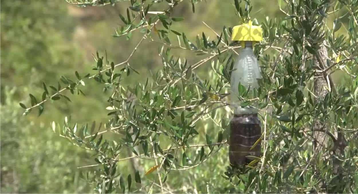 trappola per la mosca dell'olivo