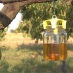 Difendere il frutteto con le trappole
