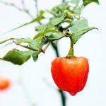 Peperoncino Habanero: caratteristiche e coltivazione