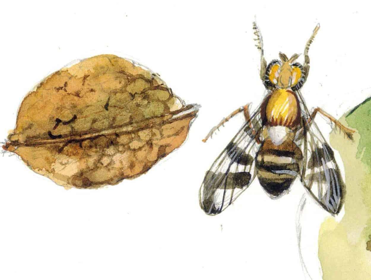 dittero insetto nocivo alle noci