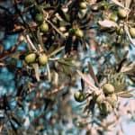 Cura e potatura rispettosa dell'olivo
