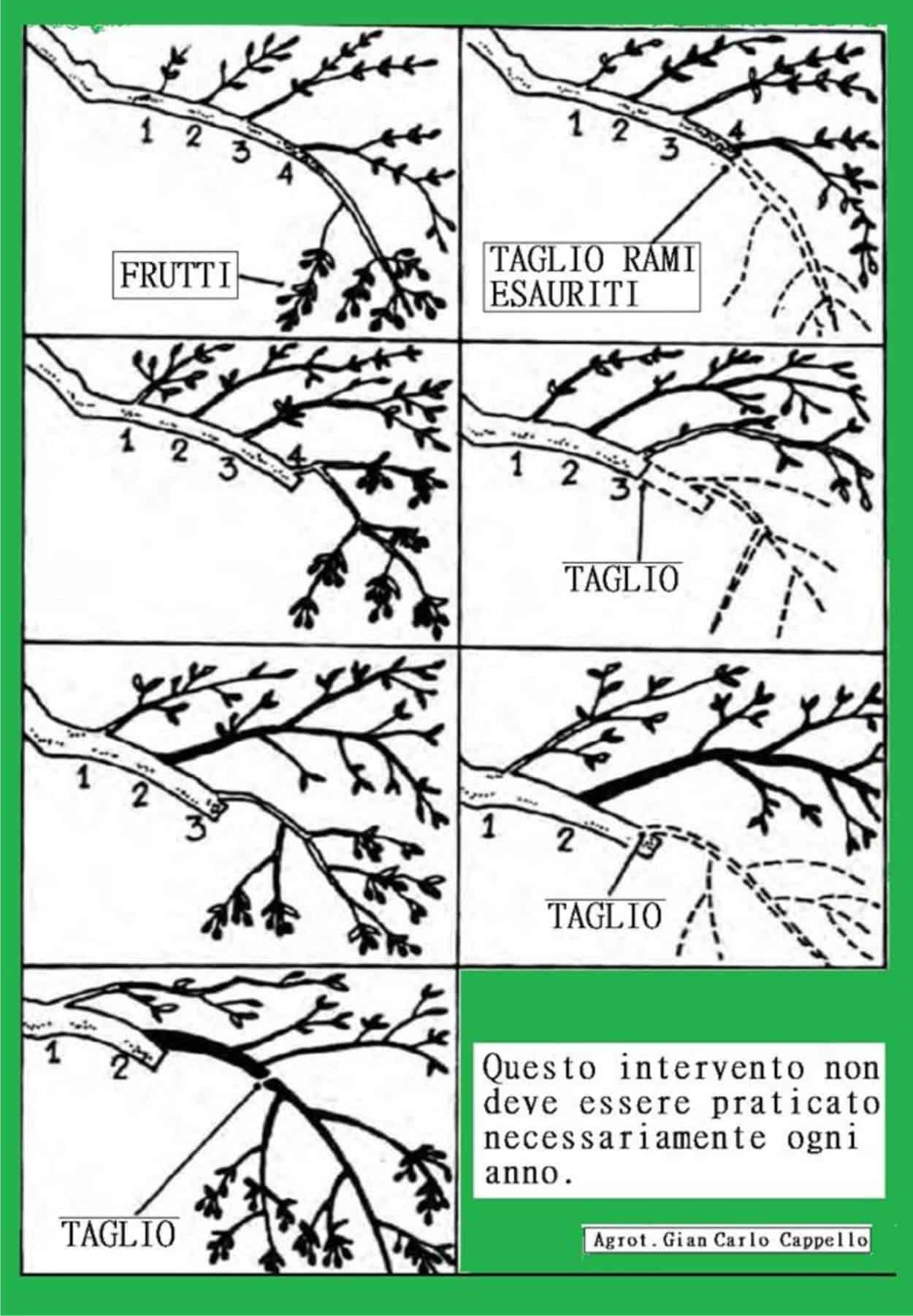 come potare olivo