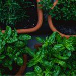 Come concimare le erbe aromatiche