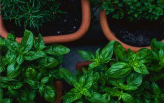 concime per le aromatiche