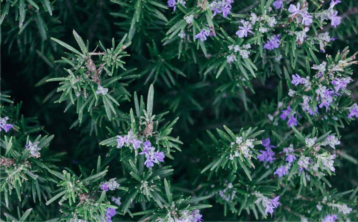fiore commestibile rosmarino