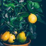 Il rinvaso degli agrumi: come e quando