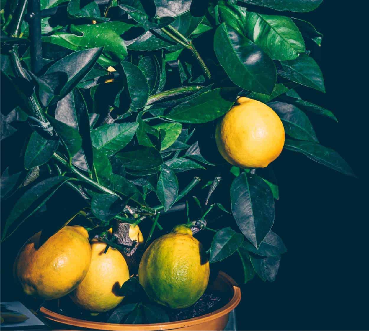 limoni in vaso