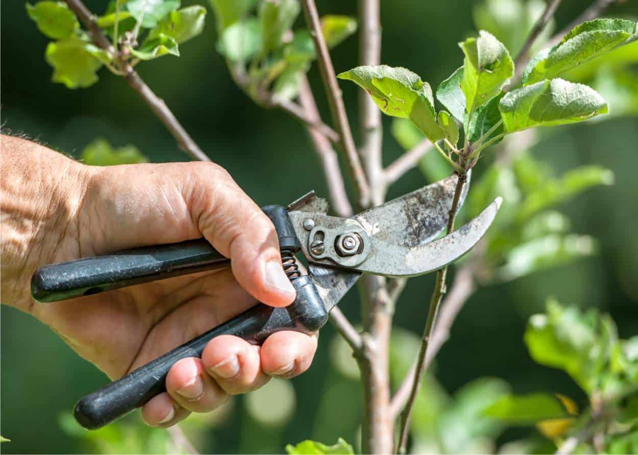 Quando potare gli alberi da frutto: il periodo migliore