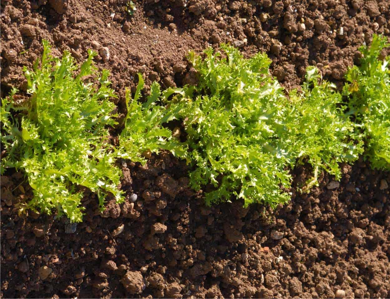 Piante Basse Da Aiuola indivia scarola: come si coltiva nell'orto