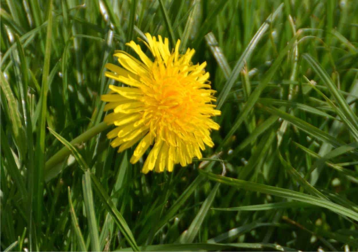 tarassaco, un fiore che si mangia