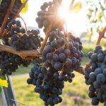 vigneto con uva sana