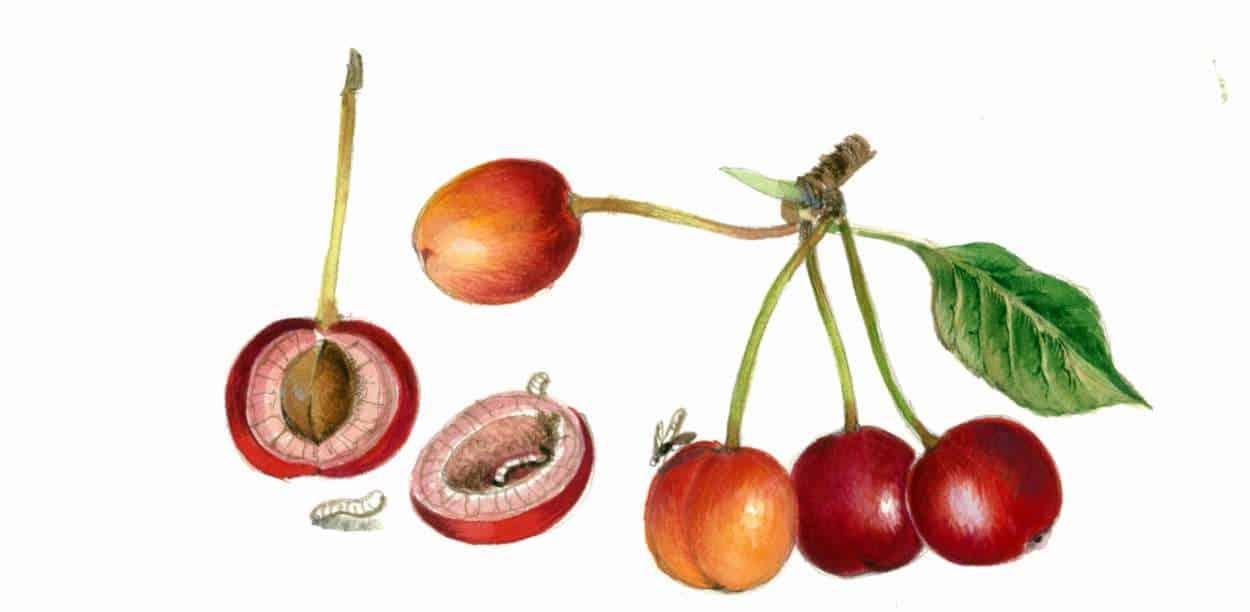 danni della mosca del ciliegio