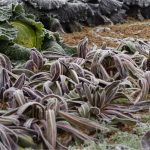 Gelate tardive primaverili: come difendere l'orto