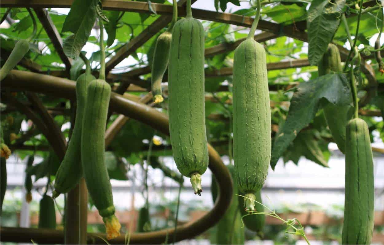 Come Seccare Le Piante come coltivare la luffa per avere spugne vegetali