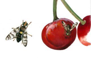 mosca del ciliegio