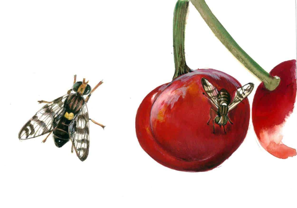 Difendersi dalla mosca del ciliegio