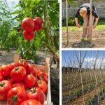 Legare pomodori: come costruire una struttura di tutori