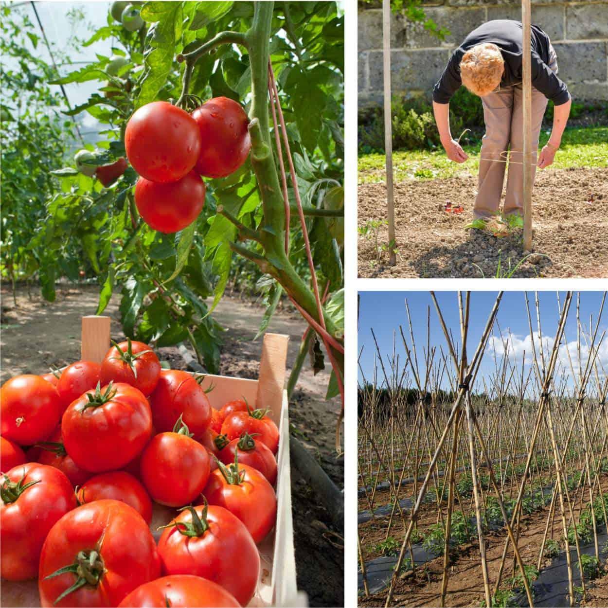 Come Coltivare Pomodori Sul Balcone tutori per i pomodori: come costruire e legare i sostegni