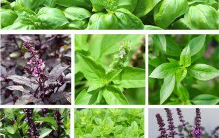 varietà di basilico