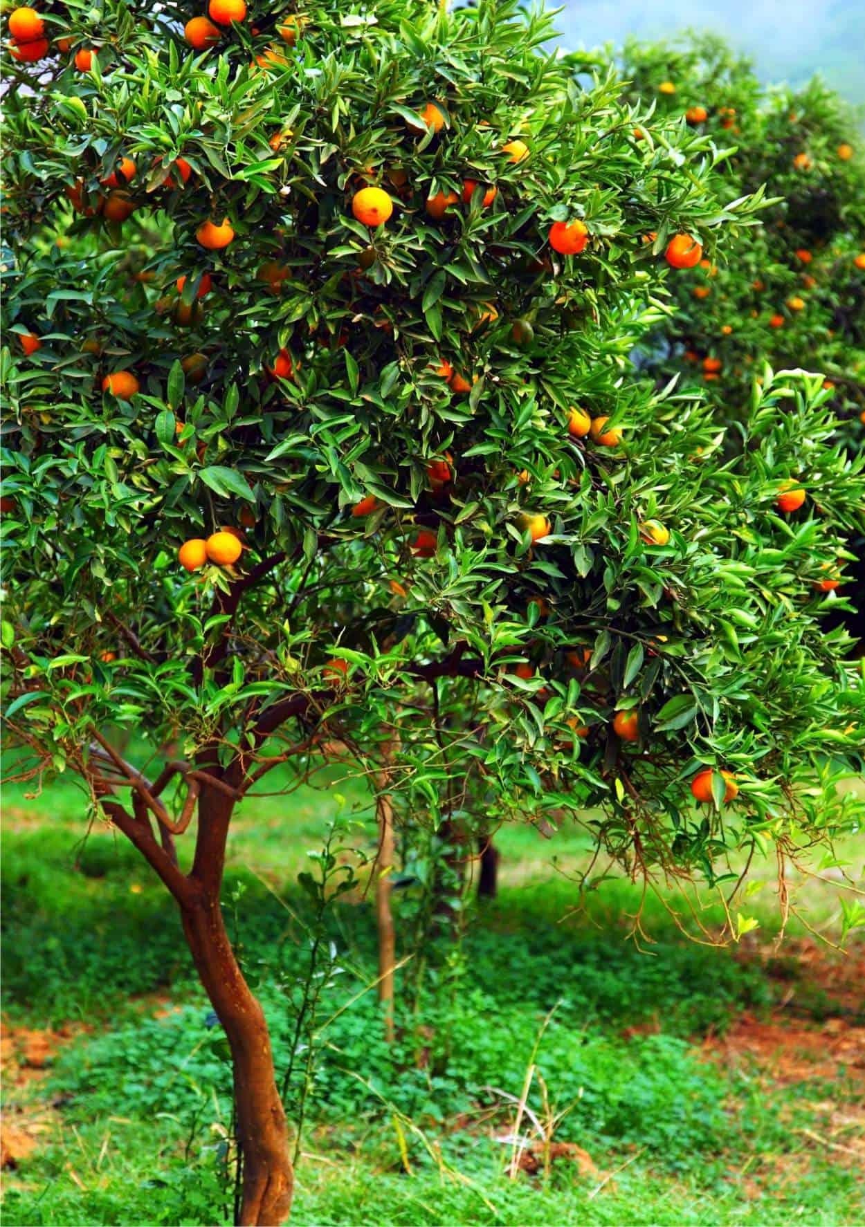Come coltivare il mandarino