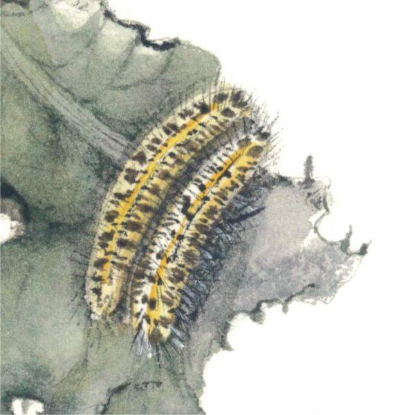 Cavolaia