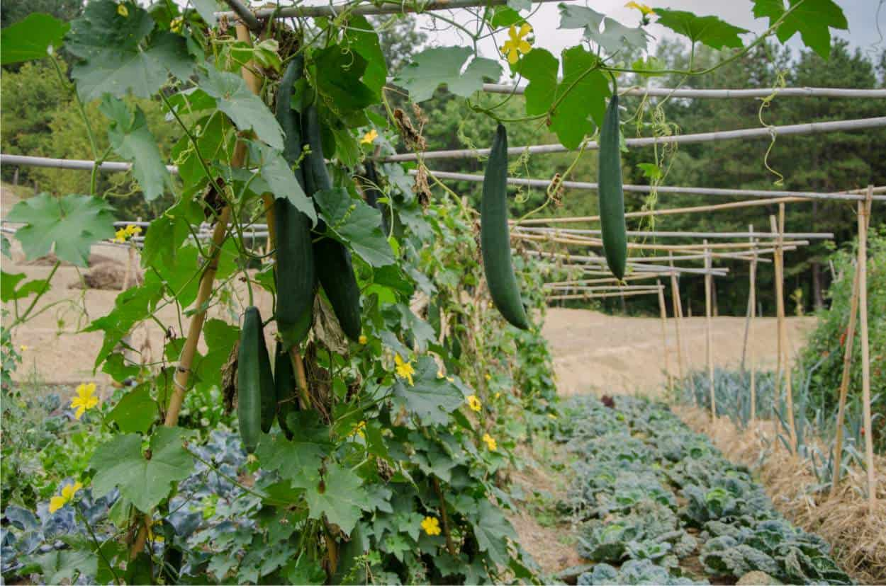 cetrioli e lattuga