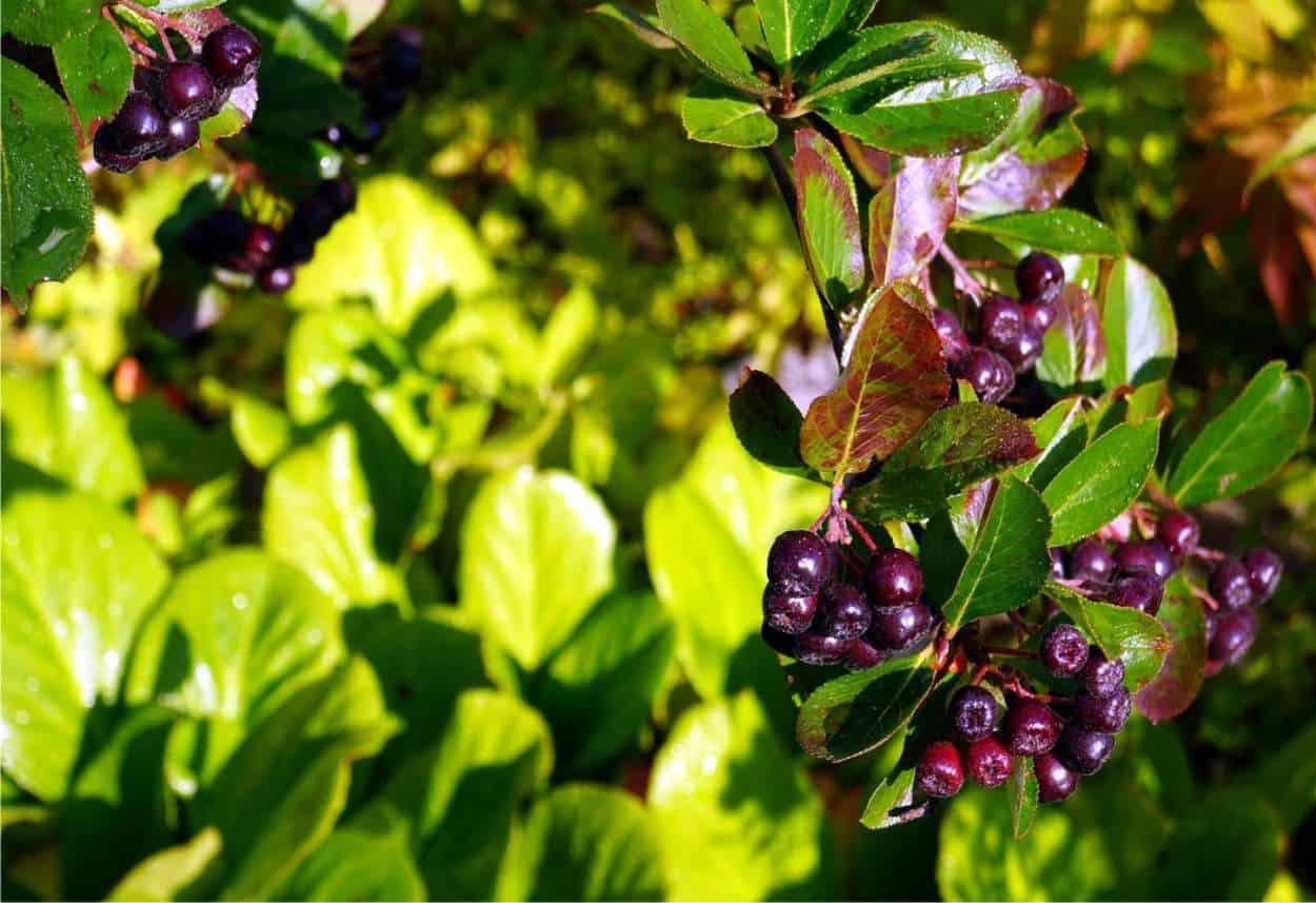 pianta di aronia coltivata